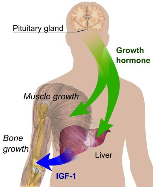 endocrinegrowthregulation